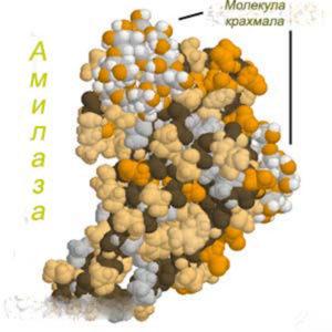 Амилаза под микроскопом