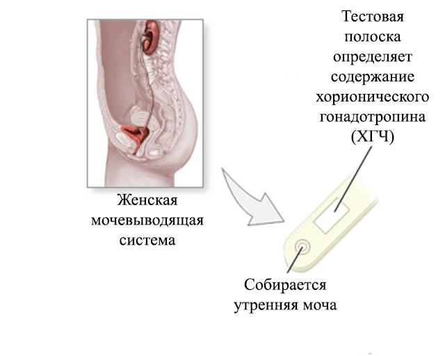 Женская мочевыводящая система