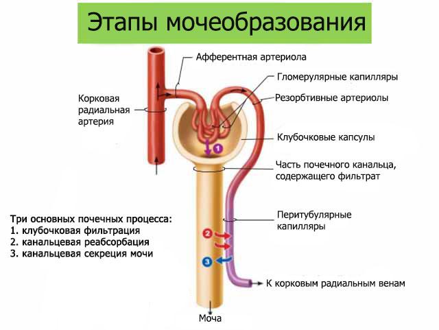 Первичная урина образование
