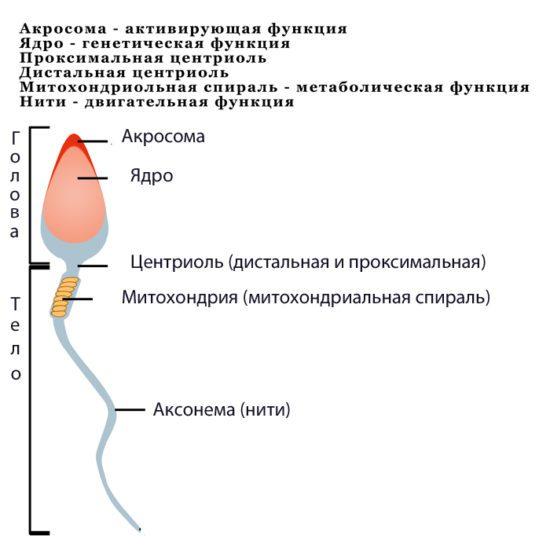 Что можно узнать о сперматозоиде